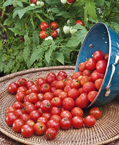 Bonnie Plants Husky Cherry Red Tomato Live Vegetable Plants - 4 Pack | Non-GMO | Bite Sized | Disease Resistant by Bonnie Plants (Image #4)
