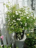 Spiraea vanhouttei 'Renaissance' (Spirea) Shrub, #3 - Size Container