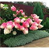 Seeds Shopp - 50 Vanilla Strawberry hydrangea Flower Seeds for planting in pot or ground easy
