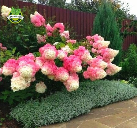 Flowers Plant To Fall - Seeds Shopp - 50 Vanilla Strawberry hydrangea Flower Seeds for planting in pot or ground easy to grow flower seeds as bonsai or tree Brand New !