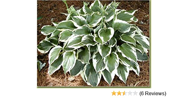 Amazoncom 3 Bareroot Patriot Hosta Garden Outdoor