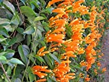 Pyrostegia venusta Orange Trumpet Vine Plant