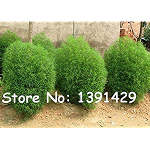 500pcs 12 kinds Blue Grass seeds Perennial Grass Burning Bush Kochia Scoparia Seeds easy to grow Bonsai Red Garden Ornamental