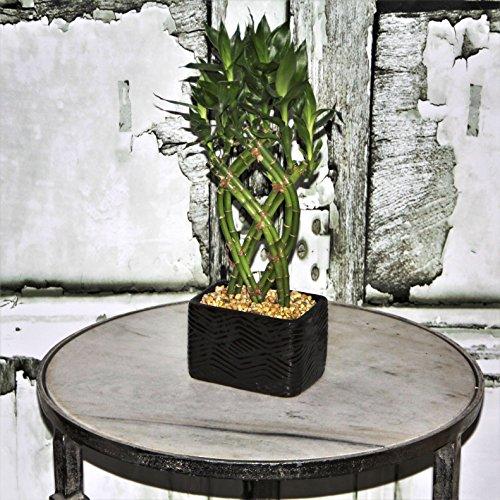 Costa Farms Medium Lucky Bamboo Live Indoor Tabletop Plant in Modern Home Decor 5-Inch Black Ceramic Planter