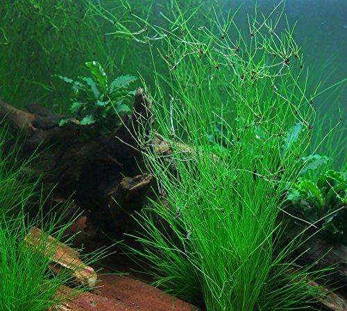 giant-hairgrass-eleocharis-vivipara-background-live-aquarium-plants-freshwater-aquatic-water-plants-