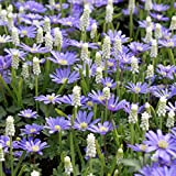 Van Zyverden Muscari / Anemone Magic Carpet Blend Set of 50 bulbs