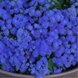 Floss Flower 'Blue Ball' (Ageratum Houstonianum Mill.) Flower Plant Seeds, Annual Heirloom