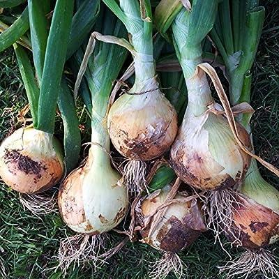 48 + Texas Super Sweet Onion Plants Organic