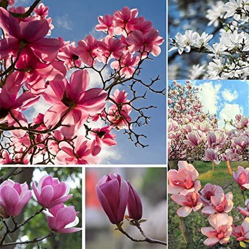 Pcs/Bag: Japanese Sakura Seeds Bonsai Mini Tree Seed Cherry Blossoms Garden B44G ()