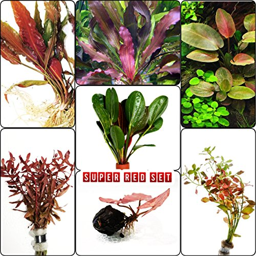 Mainam Super Red Set Package Live Aquarium Decorations Aquatic Plants for Fish Tank ()
