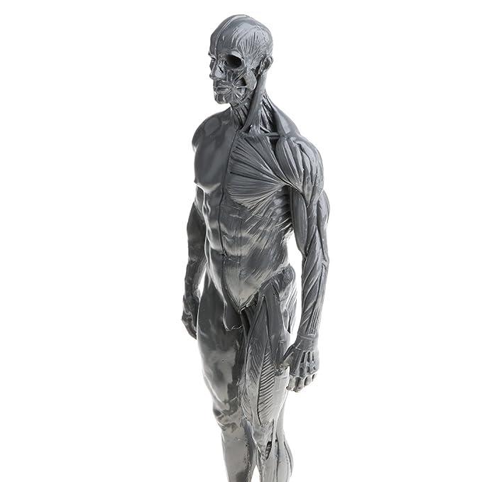D Dolity 11 Male Anatomy Figure Ecorche And Skin Anatomy Model Lab