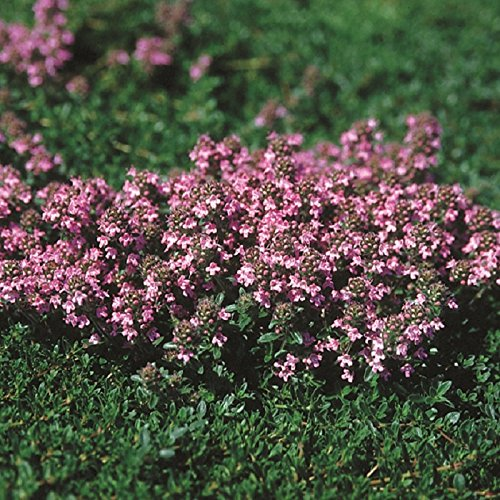 Outsidepride Magic Carpet Creeping Thyme Ground Cover Plant Seed - 500 Seeds -
