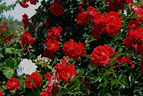 Home Comforts LAMINATED POSTER Rose Bush With Bright Red Roses Nature Poster Print 24 x 36 by Home Comforts