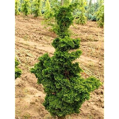 Reis Dwarf Hinoki Cypress 2 - Year Tree : Tree Plants : Garden & Outdoor