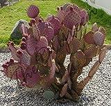 Opuntia chlorotica Santa Rita 50 Seeds, Purple Pink Cactus Pad Prickly pear