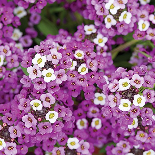 Burpee Royal Carpet Alyssum Seeds 2500 seeds ()