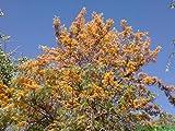 100 Grevillea robusta Seeds, Grevillea robusta Seeds, Silver Oak, Seeds Silk Oak Seeds