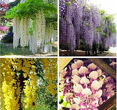 Amazon Com 35pcs Bag Hot Selling Purple Wisteria Flower Seeds