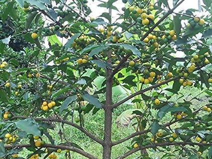 Rare Exotic Lemon Drop Mangosteen live plant Garcinia