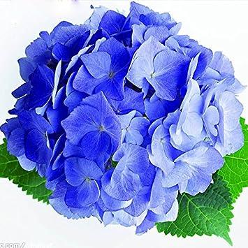 Heisser Verkaufs Seltene Blaue Hortensie Samen Balkon Bonsai Fort