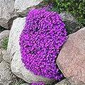 Aubrietia Rock Cress Ground Cover Flower 100 Seeds