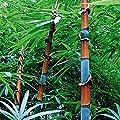 100Pcs Bamboo Seeds Black Purple Green Phyllostachys Pubescens Moso-Garden Plants - 100pcs Tinwa Bamboo Seeds
