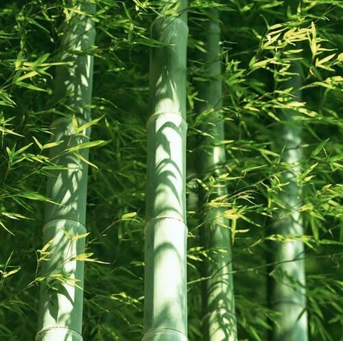 A Package 60 Pieces easy grow Fresh Giant Moso Bamboo Seeds for DIY Home Garden Plant Best Organic bonsai