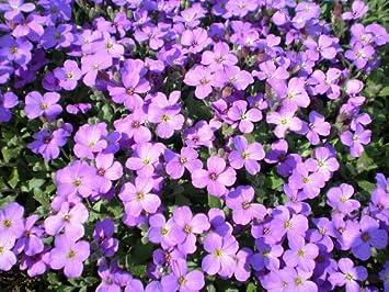 500 Semillas PURPLE rockcress berro de roca Aubrieta deltoidea de flores