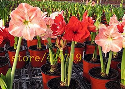 Brand New! Mix color 100 Amaryllis seeds, cheap chinese flower seeds, Barbados lily potted seed, balcony flower for home garden planting seeds of hope