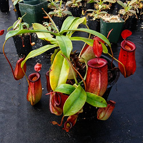 Tropical Pitcher Plant - Nepenthes Lady Luck - Carnivorous Plant by Carnivero