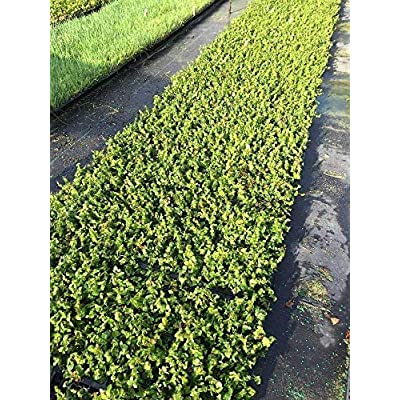 Creeping Fig Vine - Ficus Pumila - 5 Live Fully Rooted Plants - Climbing Ivy : Garden & Outdoor