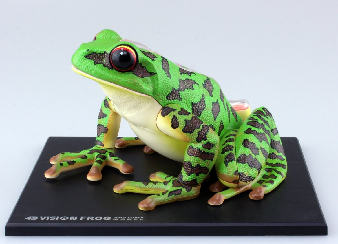 Amazon.com: No.05 frog dissection model Skynet three-dimensional ...
