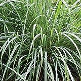 Burpee Lemongrass | Cymbopogon citratus | 10 Multicolor-Seed Pellets