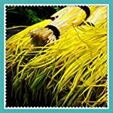 New Hierloom 50 Hotbed Chives Seeds Yellow Popular Vegetable Seeds Cheap & Easy Backyard Garden