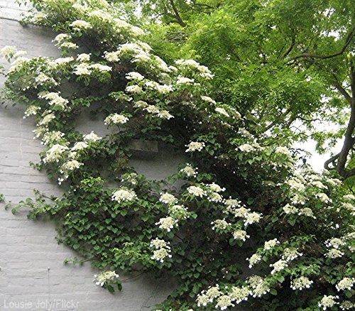 Climbing Hydrangea Anomala ( petiolaris ) - Live Plant - Quart Pot