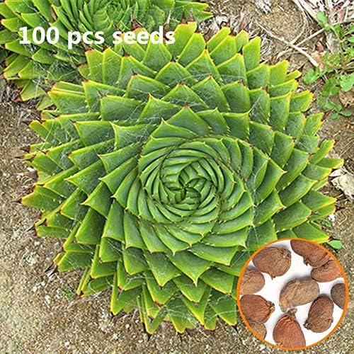 100 Unids Aloe Polyphylla Semilla Planta Jardín Suculentas Hogar Offie Yarda DIY Horticultura Semillas de Plantas Anuales: Amazon.es: Hogar