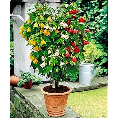 GL Seeds Abutilon Indoor Maple Organic : Garden & Outdoor