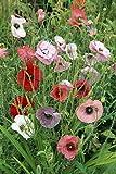 Poppy Fairy Wings 50 Seeds/Seed