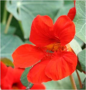 David's Garden Seeds Flower Nasturtium Empress of India (Edible) SL1824 (Red) 50 Non-GMO, Heirloom Seeds