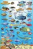 "Palau Reef Creatures Guide Franko Maps Laminated Fish Card 4"" x 6"""