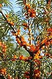 Sanddorn-Set Busch. je 1 Pflanze männlich (Pollmix)+1 Pflanze weiblich (Leikora) - zu dem Artikel bekommen Sie gratis ein Paar Handschuhe für die Gartenarbeit dazu
