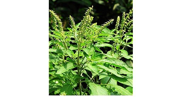 Sweet Scented Basil Seeds 30 Seeds Ocimum Sanctum Ocimum Gratissimum Plants D039