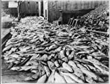 Photo: Four thousand salmon,Chilkoot Packing Company,near Haines,Alaska,AK,fish