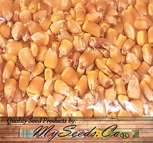5 LB (8,400+ Seeds) Reid's Yellow Field Corn Seed (OP) open pollinated variety - Non-GMO Seeds By MySeeds.Co (5 LB Reid Yellow Corn) by MySeeds.Co - VEGETABLE Seeds by the LB (Image #3)