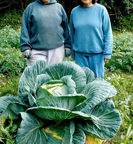 Mayan Seeds LLC Vegetable Seeds 200 pcs Giant Cabbage Seeds,a Favorite Choice for Homemade Sauerkraut, Very Late Variety Largest of All Cabbage
