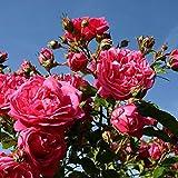 Laguna Rose Bush Fragrant Pink Climbing Rose Organic Grown Large Pink Flowers 4' Potted