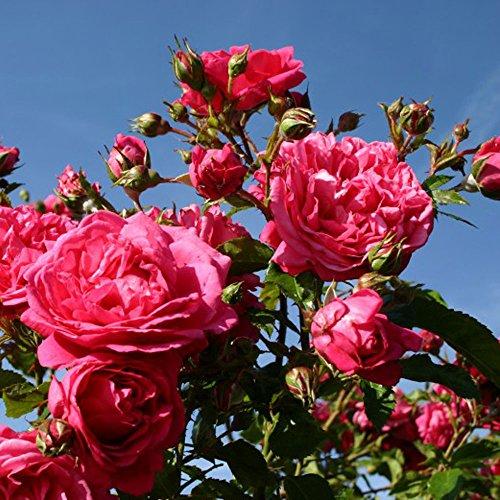 Laguna Rose Bush Fragrant Pink Climbing Rose Organic Grown Large Pink Flowers 4
