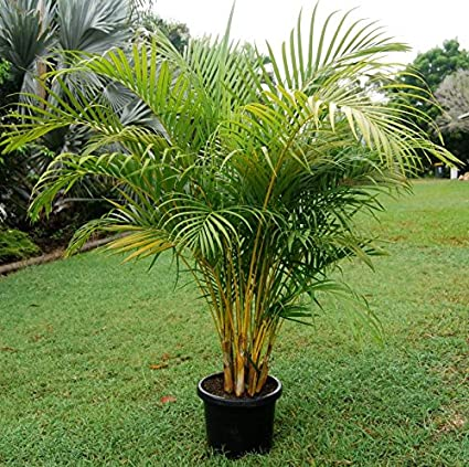 01a9d90a23610 Amazon.com : 20 Dypsis lutescens Seeds, Golden cane palm, areca palm,  yellow palm, or butterfly palm Seeds : Garden & Outdoor