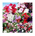 Sweet Pea Mixed Seeds - Approximately 65 Seeds