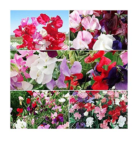 Sweet Pea Mixed Seeds - Approximately 65 Seeds ()